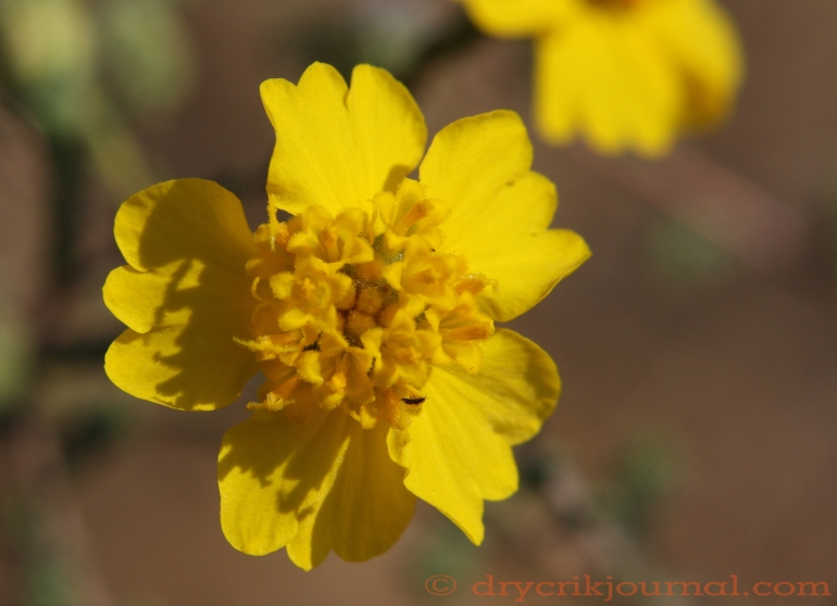 Tarweed, Dry Creek - August 11, 2013