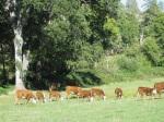 Mrnak Herefords West - Cows & spring calves