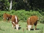 Mrnak Herefords West - Spring bull calves