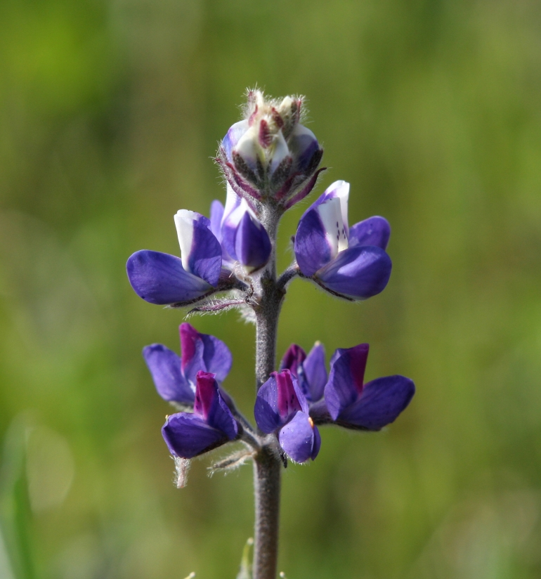 Minature Lupine