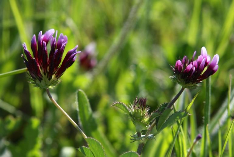 Indian Clover