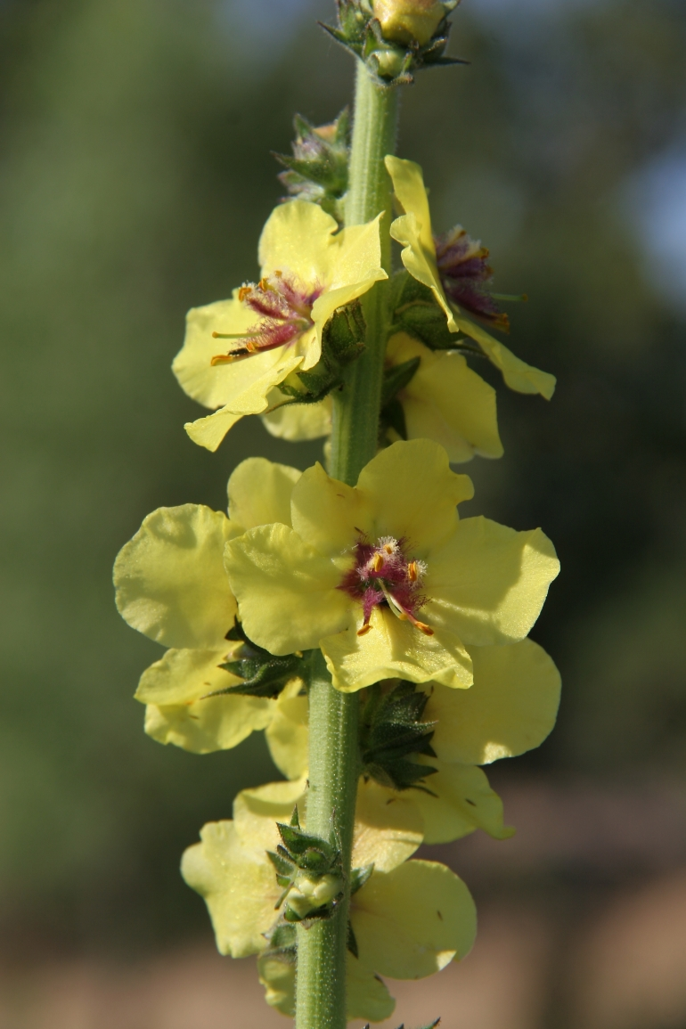 Verbascum thapsus, May 11, 2013