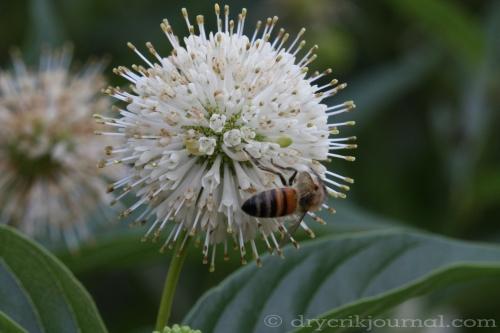 Cephalanthus occidentalis californica