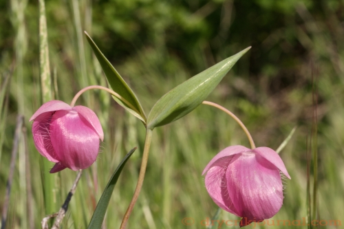 Purple Fairy Lantern, Purple Globelily, Calochortus amoenus