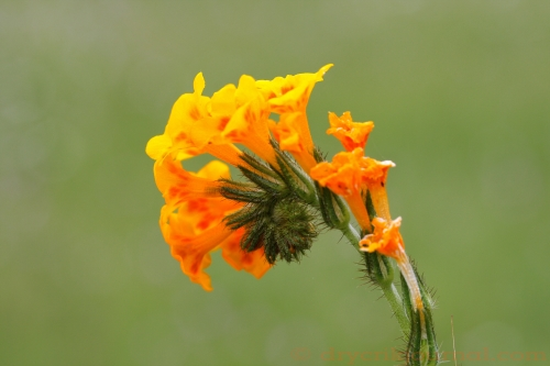 Fiddleneck - April 5, 2011