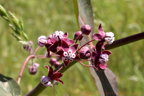 Purple Milkweed - May 2, 2011