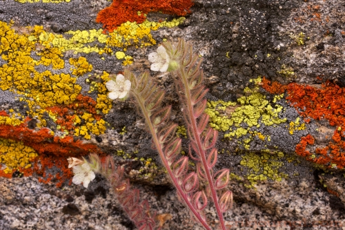 Phacelia (Scorpionweed) and Lichen - May 15, 2011