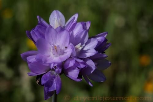 Wild Hyacinth (Dichelostemma capitatum)    - February 16, 2015