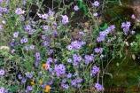 Fiesta Flower, Scorpion Weed, Wild Hyacinth, Miner's Lettuce, Fiddleneck, Lacepod,