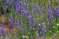 Blue Lupine, Chia, Headed Gilia, Fiddleneck