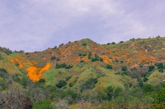 California Golden Poppies, Sulphur Ridge
